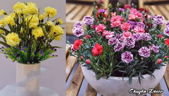 Hoa cẩm chướng nhiều màu sắc