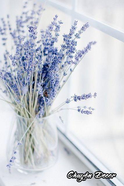 Nàng oải hương lavender